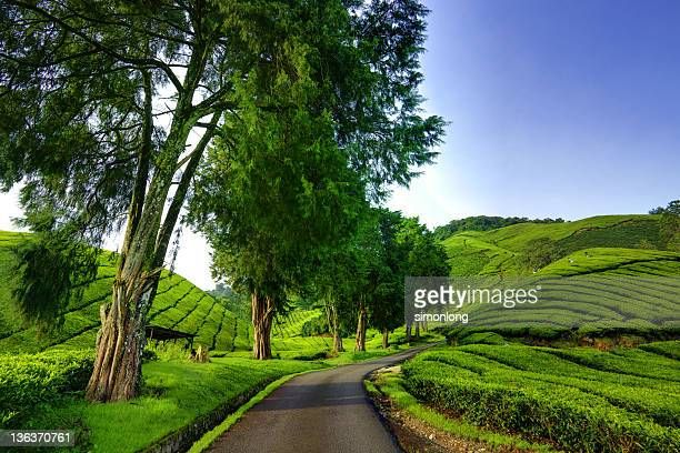 Tea Plantations  Cameron Highland