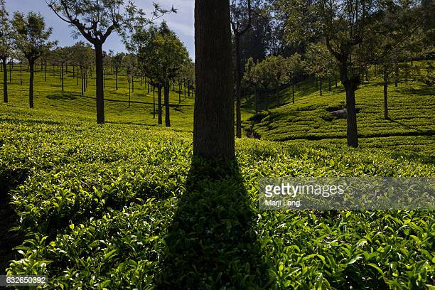 Tea plantations in the Nilgiri mountains range near Ooty and Coonoor hill stations in Tamil Nadu India