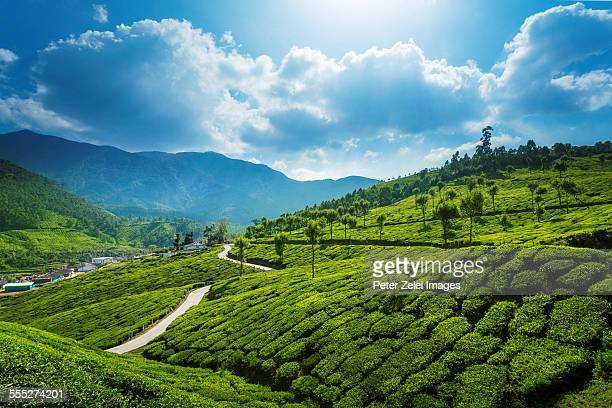 Tea plantations landscape