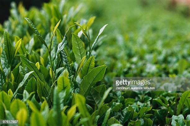 Tea plants, close-up