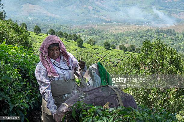 CONTENT] A tea plucker at work in the tea plantations on the way to Munnar Kerala South India