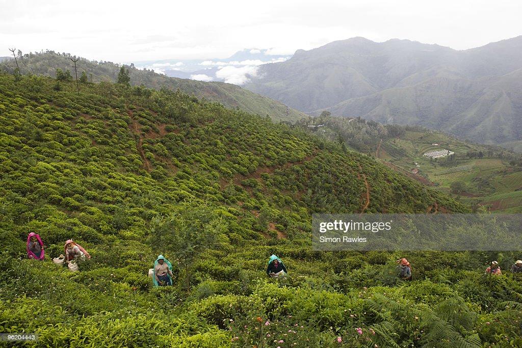 Tea pluckers on tea estate, Tamil Nadu