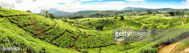 Thé en terrasse du Sri Lanka