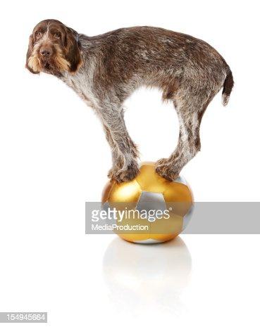 Alter Hund tun trick auf dem ball aus
