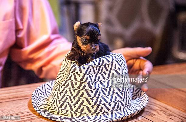Teacup yorkie on checkered men's hat