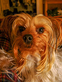 A close-up portrait of a female Teacup Yorkshire Terrier in a dark lit setting.