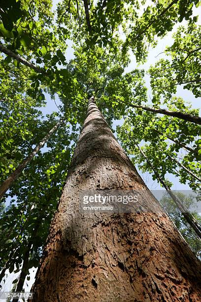 Teak forest canopy.