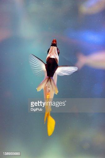 Teardrop butterflyfish : Foto de stock