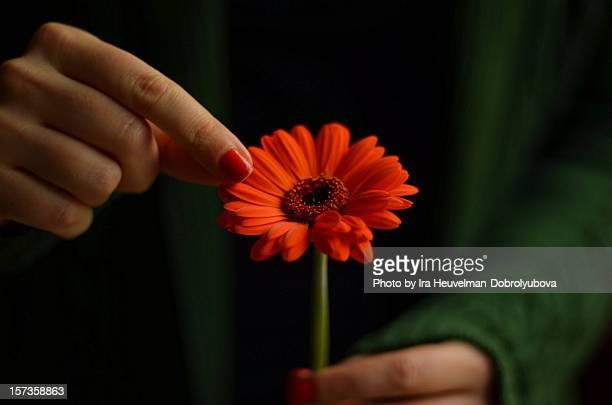 Tearing away petal of gerbera