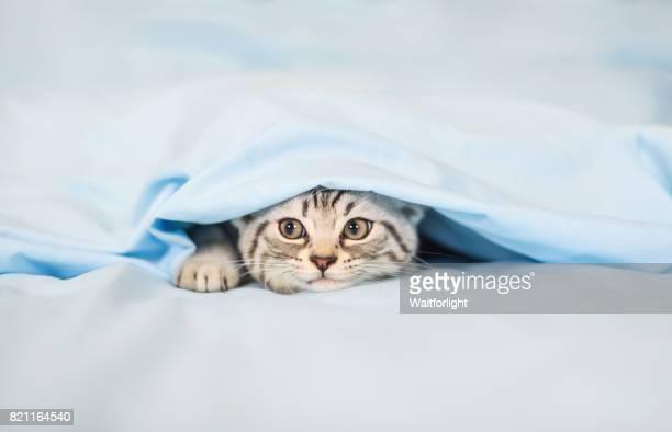 tebby kitten hiding under quilt cover