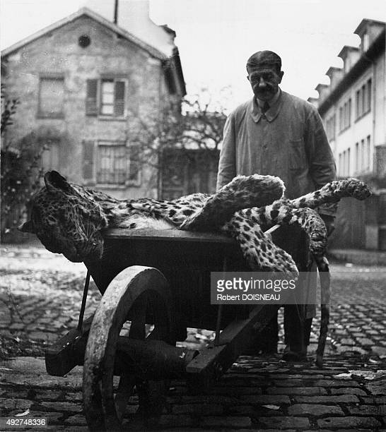 Technician carrying a jaguar in a wheelbarrow to the laboratory of mammals and birds at the National Museum of Natural History in Paris France in 1943