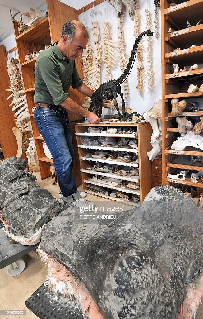 A technician of the Angouleme museum, southwestern France, places a model of dinosaur in front of bones of these animals, on October 18, 2012, found near the central city. Some 400 dinosaur bones have been found on the Angeac-Charente site after workers found the first pieces in 2008 in a quarry. Foreground, the femur of a dinosaur.