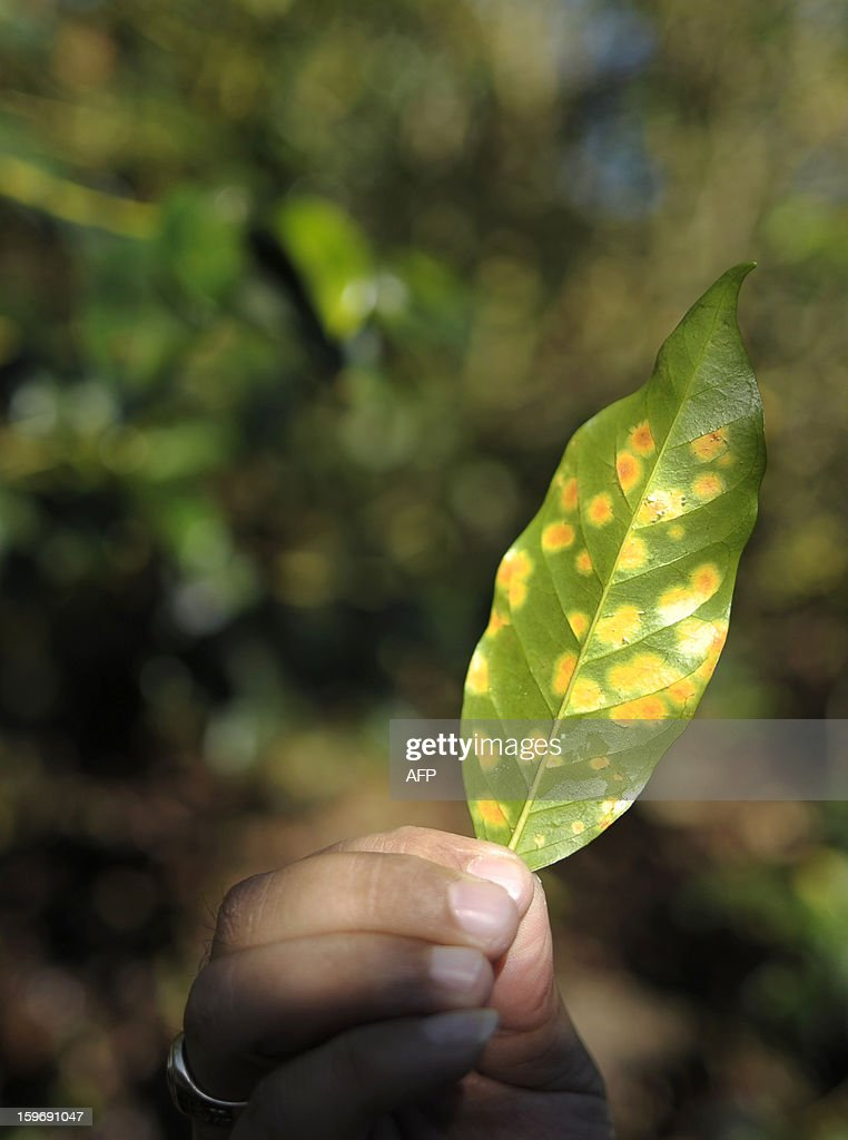 A technician shows a coffee plant leaf affected by Roya blight, at El Olvido State, on the San Salvador Volcano in the city of San Tecla, 30 kms west from San Salvador, El Salvador. Central America, one of main producers of the best Arabica Coffee, is analyzing to take measures to combat the Roya (Puccinia graminis) blight already threatening more than one third of the grain crop, one of the region's major export items. AFP PHOTO/ Jose CABEZAS