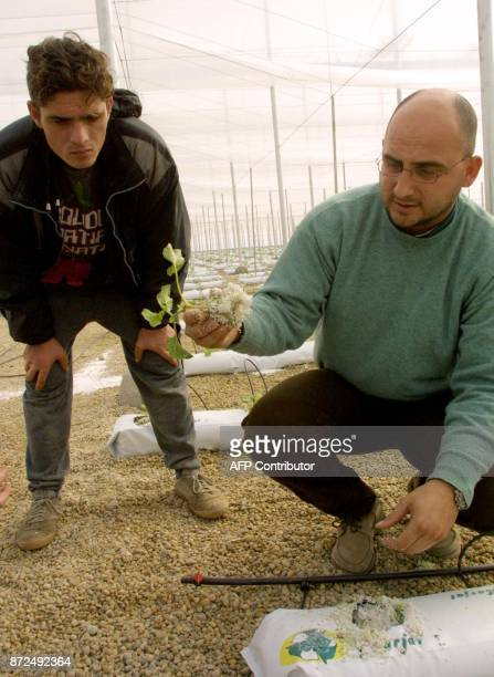 A technician shows a French melon plant to a Moroccan day worker in the La Canada farm in Almeria in the heart of Andalusia 24 January 2001 Illegals...