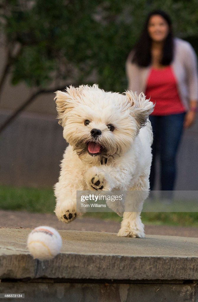 Ted Kennedy a oneyearold ShihPoo chases a tennis ball thrown by his owner Tatiana Calderon from the office of Rep Gwen Moore DWisc in the Rayburn...