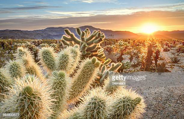 Teddy bear cholla cactus in Joshua tree national park at sunset, California USA