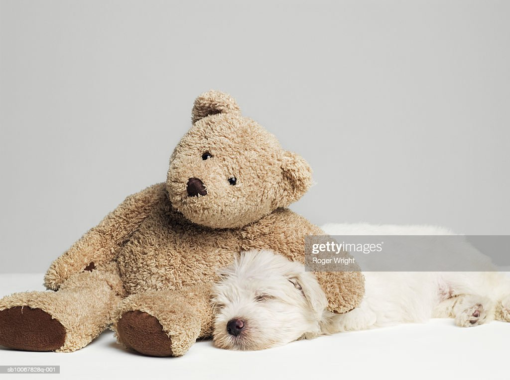 Teddy bear resting on sleeping West Highland Terrier puppy, studio shot
