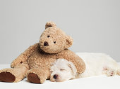 Teddy bear resting on sleeping West Highland Terrier puppy, studio shot