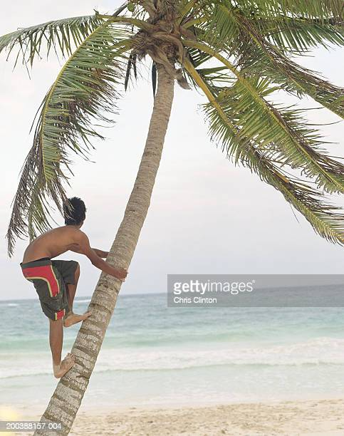 Teenage boy (15-17) climbing coconut palm, looking at sea, rear view