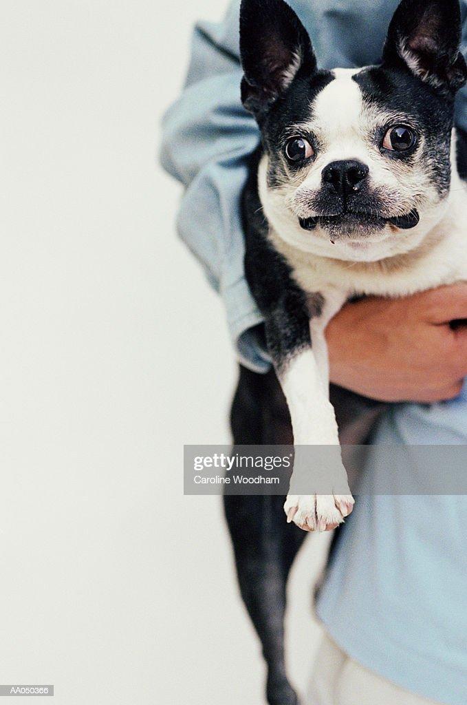 Teenage boy  (16-18) holding Boston Terrier : Stock Photo