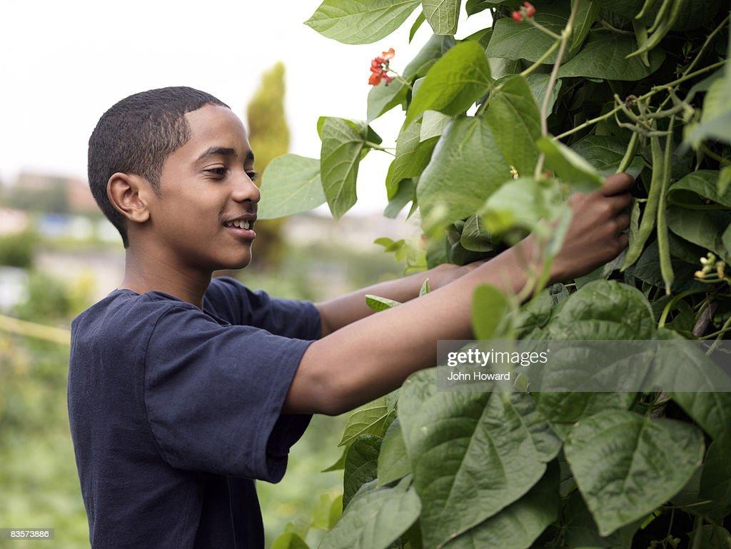 Teenage boy picking beans in alottment : Stock Photo
