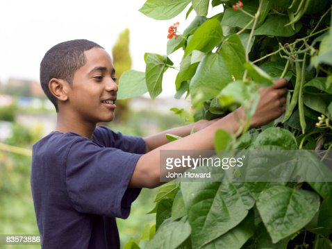 Teenage boy picking beans in alottment : Stock Photo