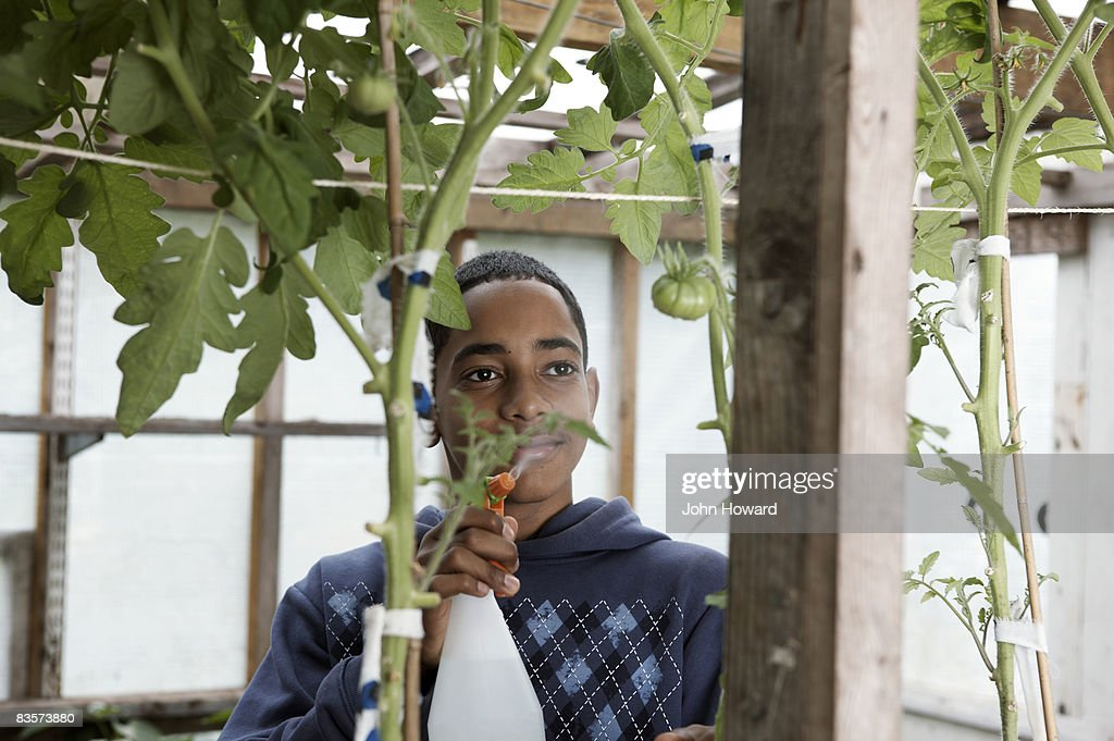 Teenage boy spritzing tomatoes growing on the vine : Stock Photo