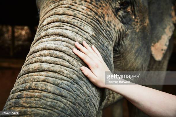 Teenage boy touching trunk of Asian elephant