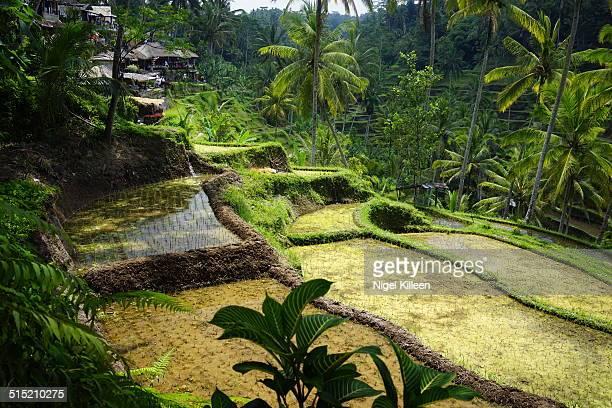 Tegallalang Rice Terraces, Bali