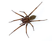 Giant scary house spider (Tegenaria domesticus) isolated on white