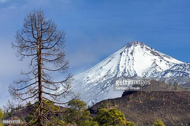 Teide volcano and pine trees