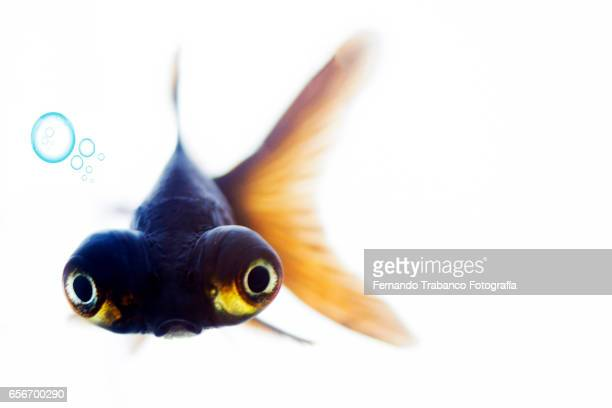 Telescopic goldfish or Black moor Breathing air bubbles