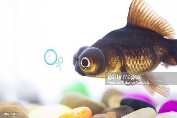 Telescopic goldfish or Black moor Breathing air bubbles