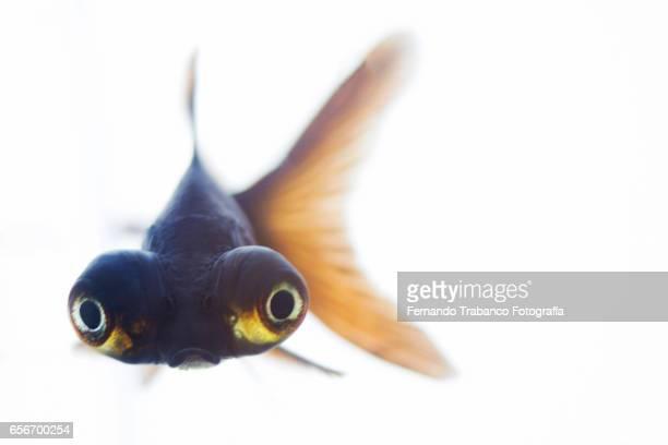 Telescopic goldfish or Black moor looking at camera
