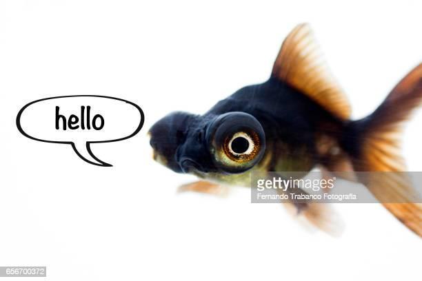Telescopic goldfish or Black moor say hello