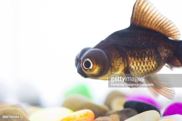 Telescopic goldfish or Black moor Swimming on colorful pebbles