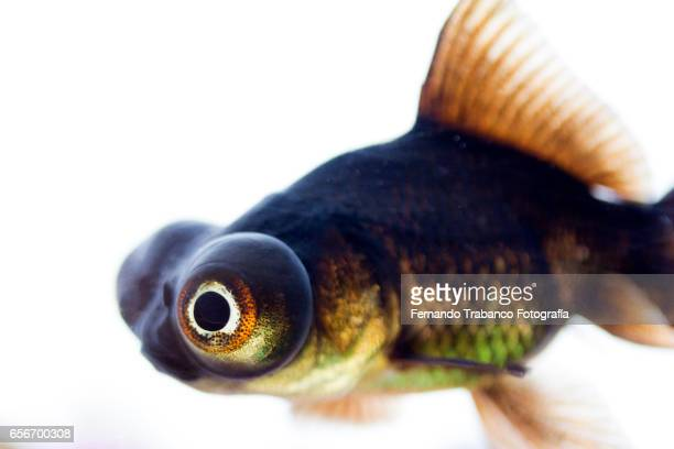 Telescopic goldfish or Black moor Swimming