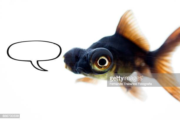 Telescopic goldfish or Black moor with sing