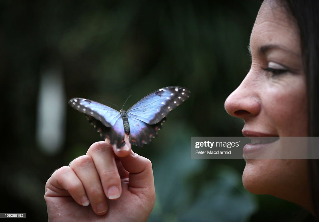 Television gardener Rachel de Thame holds a Blue Morpho butterfly in The Glasshouse at RHS Wisley Gardens on January 11, 2013 near Woking, England. Rare and exotic butterflies have been placed in The Glasshouse for visitors from January 12 to February 24, 2013.
