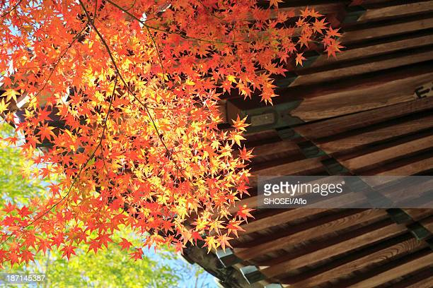 Temple roof and red maple leaves, Shizuoka Prefecture