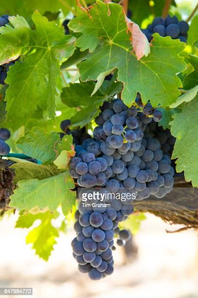 Tempranillo grapes at Finca Villacreces Ribera del Duero wine production bodega by River Duero Navarro Spain