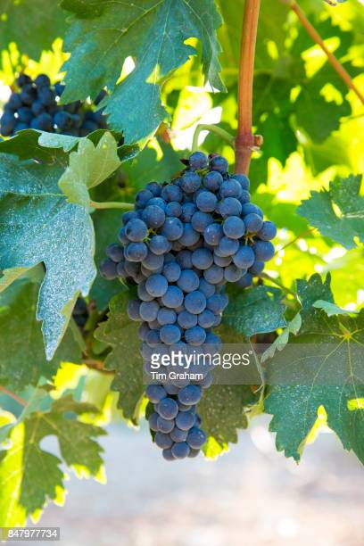 Tempranillo grapes ribera del Duero wine production in Valbuena de Duero Valladolid Spain