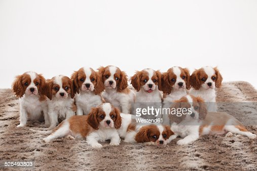 Five Cavalier King Charles Spaniel Puppies Sitting In A Row Stock