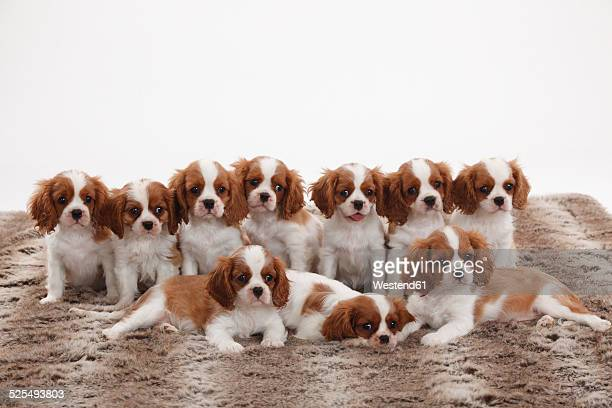 Ten Cavalier King Charles Spaniel puppies in two rows