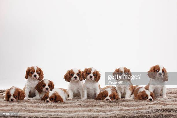 Ten Cavalier King Charles Spaniel puppies sitting and lying in a row in front of white background
