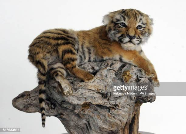 A ten day old stuffed tiger cub seized by the Metropolitan Police Service Wildlife Crime Unit which is teaming up with animal charity World Society...