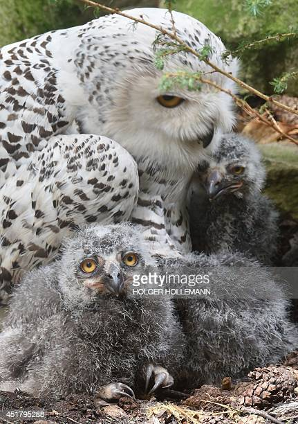 Ten days old snowy owls are protected by the mother on July 7 2014 in Walsrode Bird Park Germany AFP PHOTO /DPA /HOLGER HOLLEMANN /GERMANY OUT