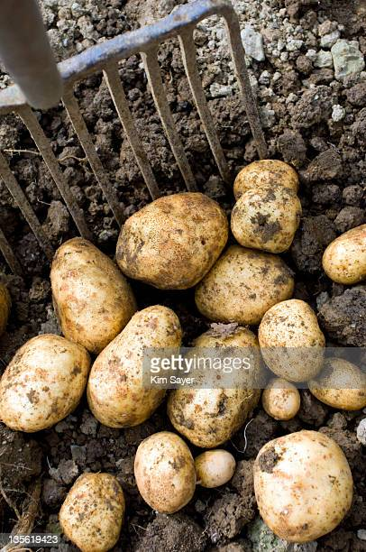Ten Pronged Potato Fork and Dug Up Potatoes on Soil