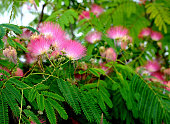 A ten year old Albizia Julibrissin during the RHS Flower Show at Tatton Park on July 21 2016 in Knutsford England
