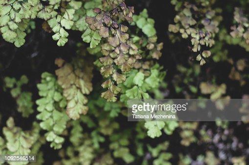 Tender dark and light green ginko leaves : Stock Photo